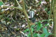 Fantail - native but not endemic to NZ