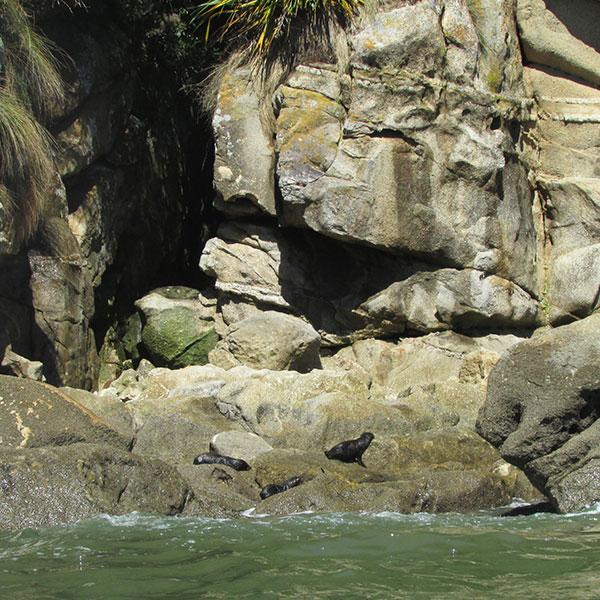 focas abel tasman