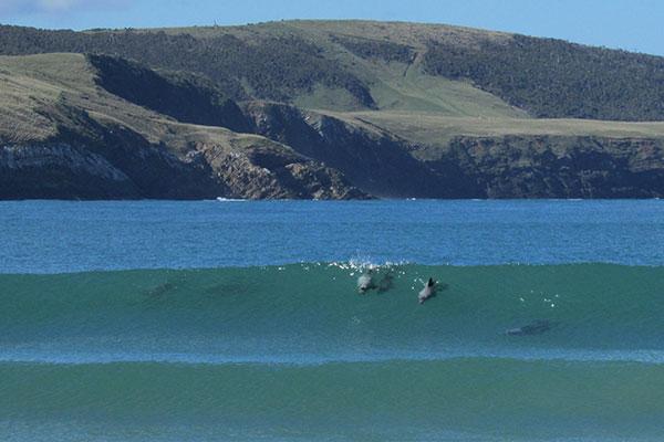 curio bay delfines