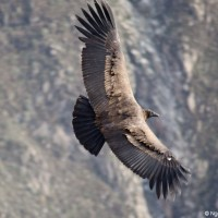 Meeting Condors in Colca Canyon, Peru - A Top Travel Experience