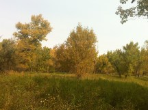 Love the Cottonwood trees