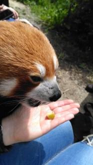 7-jan-red-panda14