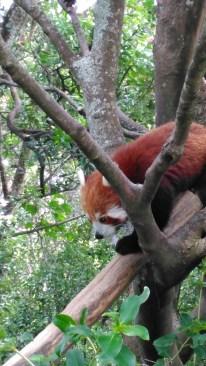 7-jan-red-panda16