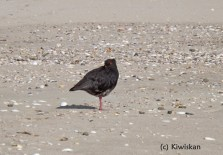 Oyster Catcher2