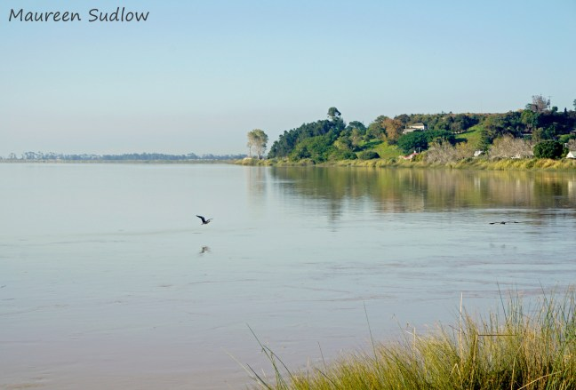 herons on the river2