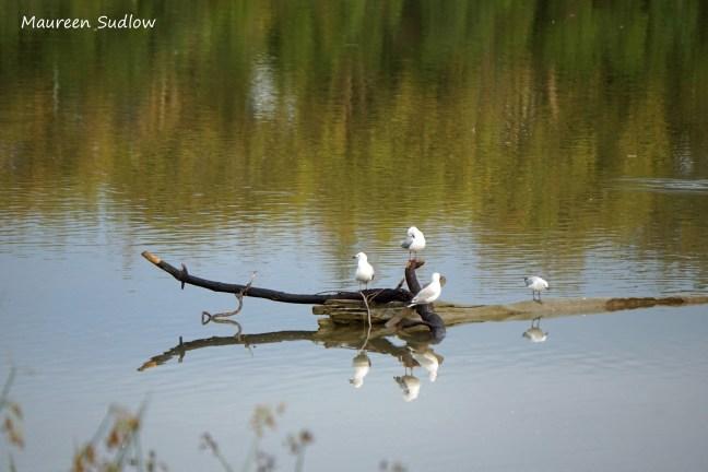 gull reflections 2