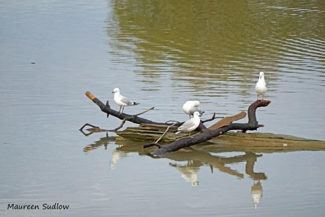 gull reflections 3