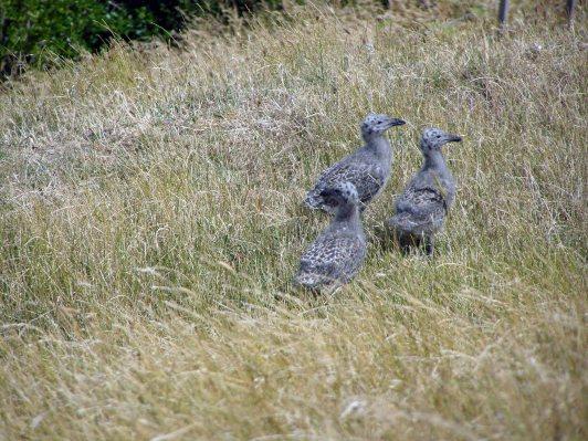 Black backed gull chicks