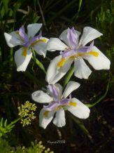 Dietes grandiflora - Fairy Iris