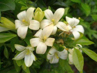 Murraya paniculata 2