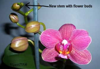 Phalaenopsis Orchid - Sequential blomer