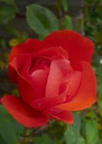 Rose Orange Red