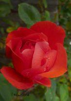 Rose Orange Red