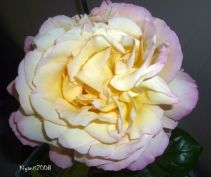 Rose 'Peace' - Fully open