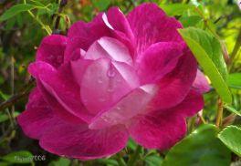 Rose Pink Floribunda