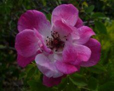 Rose Pink Iceberg
