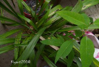 Anggrek Cymbidium dengan bercak hitam didaun dan tanaman 'Eucalyptus' tumbuh sendiri tanpa diundang.