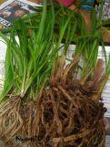 """Setelah dipisahkan. Daun anggrek Cymbidium mirip dengan daun """"Spider Plant'"""