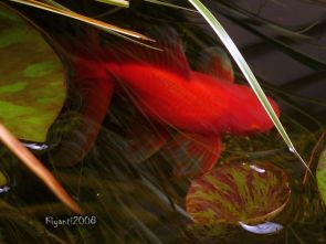 Goldfish - December 2015