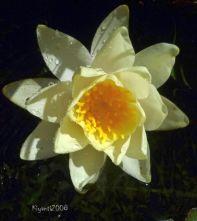 Waterlily bloom - Dec. 2015