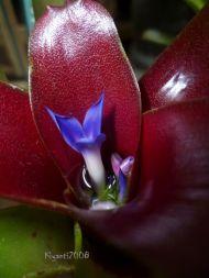 Bromeliad - Neoregelia