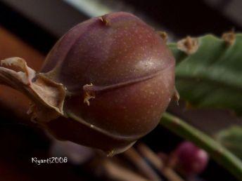 Epiphyllum ackermannii fruit - not fully ripe