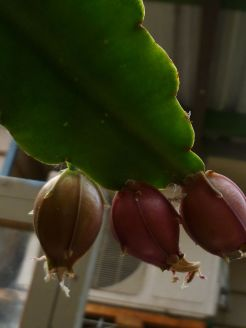 Epiphyllum/Disocactus ackermannii