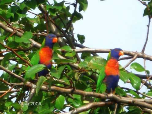 Rainbow Lorikeets (Trichoglossus haematodus) on Pear Tree
