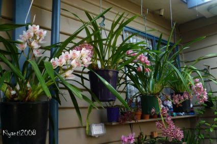 Cymbidium Orchids - Early Flowers