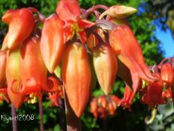 Cotyledon orbiculata flowers