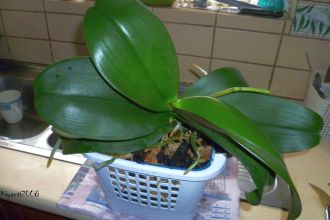 Phalaenopsis - back side facing window