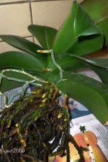 Phalaenopsis - plump roots