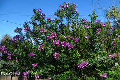 Sweet Pea Bush - Polygala myrtifolia