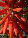 Aloe spinosissima - Orange colour bloom
