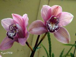Cymbidium - Large Pink Flowers
