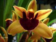 Cymbidium Marvin Gaye 'Royale' flower