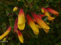 Jacobinia pauciflora 'Firefly'.2016 - Copy