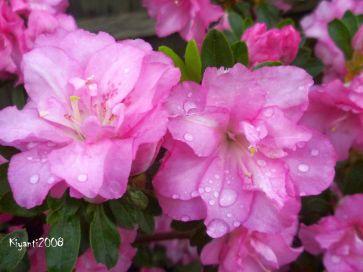 azalea-flowers-after-night-rain-september-11-2016