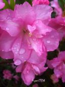 azalea-flowers-pretty-and-fresh-september-11-2016