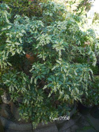 pieris-japonica-bush