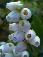 pieris-japonica-flowers-close-up