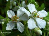 choisya-ternata-mexican-orange-blossom