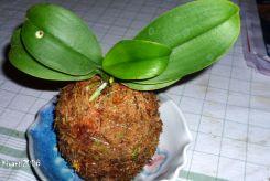 kokedama-phalaenopsis-orchid