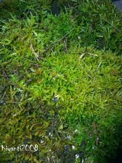 moss-coarse-and-trailing