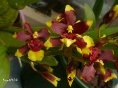 oncidium-dancing-lady-2016-second-bloom
