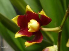 oncidium-dancing-lady-maroon-and-yellow