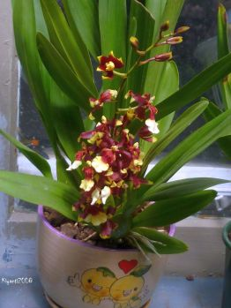 oncidium-dancing-lady-october-3-2016