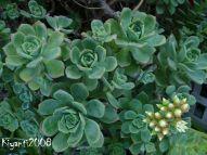 aeonium-haworthii-green-pinwheels