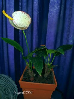 anthurium-after-more-than-5-years-later