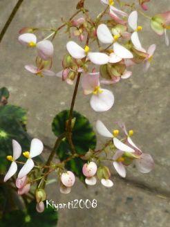 begonia-bowerae-november-2016